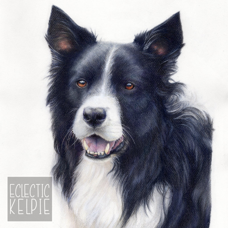 Commission animal portrait in coloured pencil by Arla Kean of Eclectic Kelpie